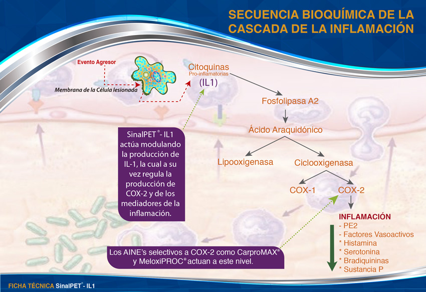 Secuencia bioquimica de la inflamación